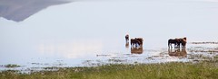 AirHorses (carfull...home in Mongolia) Tags: summer mongolia mongolian horse water lake steppe heat warmth reflection cool