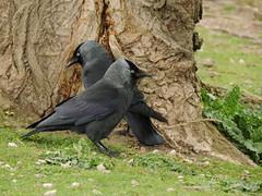 Jackdaws (deannewildsmith) Tags: earthnaturelife staffordshire jackdaw bird bartonmarina