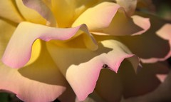 Travelling on a rose petal (chriskatsie) Tags: rose flower bug insecte