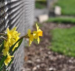 on the wrong side (ladybugdiscovery) Tags: hbw happybokehwednesday bokeh daffodil garden fence blur dof bokehoftheday