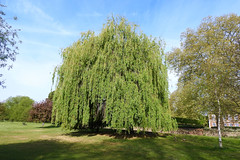 willow_weeping_golden (Hall Place Idler) Tags: willow weeping golden salix hallplace