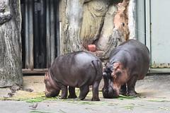 Pygmy Hippopotamus (侏儒河馬) (scv1_2001) Tags: nikon nikon70200mmvrii nikond750 taiwan taipeizoo 台北市立動物園