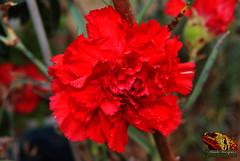 DSC00504_ED_MD (paulomarquesfotografia) Tags: a230 sony red colors cravo bokeh beyondbokeh macro flores flowers