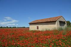 Coquelicots (Melvin. A) Tags: rouge fleur flower maison paysage exterieur champ coquelicots blume ciel bleu loin jardin
