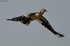 Red-Billed Hornbill (naturalturn) Tags: fly hornbill redbilledhornbill savanna savuti chobe chobenationalpark botswana image:rating=5 image:id=206083