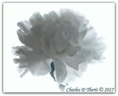 White on White (ctofcsco) Tags: 1200 160 180mm 1d 1dmark4 1dmarkiv 1div canon carnation colorado coloradosprings digital ef180mmf35lmacrousm eos eos1d eos1dmarkiv esplora bokeh explore explored geo:lat=3893083779 geo:lon=10489145279 geotagged gleneyrie nature northamerica telephoto wildlife f16 flower iso8000 macro mark4 markiv photo pic pretty renown unitedstates usa white