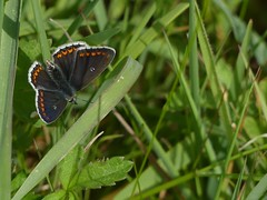 Brown Argus (ukstormchaser (A.k.a The Bug Whisperer)) Tags: brown argus insects fly flies milton keynes may meadow grass basking morning