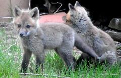 DSC_0637 (RachidH) Tags: fox renard vulpes foxcub renardeau redfox renardroux vulpesvulpes backyard frontyard wildlife sparta newjersey nj rachidh nature
