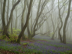 April Blues (Damian_Ward) Tags: damianwardphotography ©damianward damianward bluebells hyacinthoidesnonscripta beech commonbluebell trees chilterns chilternhills thechilterns fog mist