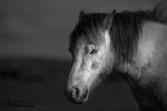 Heading home (AnthonyCNeill) Tags: horse pferd caballo cheval blackandwhite blancaynegra blancetnoir schwartzundweiss animal portrait outdoor equestrian equine nikon d750 primelens 85mm face headshot lowkey clavebaja