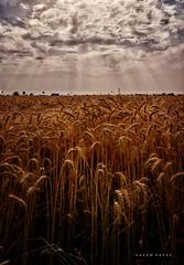 Harvest Time ... (Hazem Hafez) Tags: fields wheat crop farms gold sun sky clouds village goodness rays warm yellow
