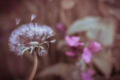 Sony a7 50mm (Jasrmcf) Tags: ilce7 sel50f18f sonya7 sony sonyalpha alpha bokeh bokehlicious bokehgraph dof dandilion delicate detail depthoffield smooth blur garden nature ngc greatphotographers 50mm vintage macros macro macrotube dreamy
