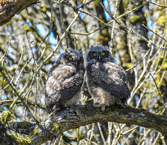 Young Great Horned Owls  - Day 123 / 365 (Wayne~Chadwick) Tags: