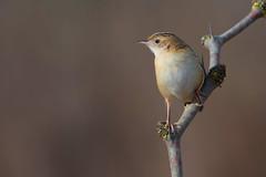 zitting cisticola (leonardo manetti) Tags: eta wild wildlife nature animal animals bird birds nikon d810 winter sunrise uccello