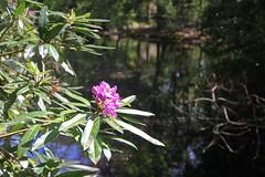 20170517-141336LC (Luc Coekaerts from Tessenderlo) Tags: bel belgium dassenaarde diestschaffen vlaanderen cc0 creativecommons 20170517141336lc coeluc a20170517kvlvasdonk kvlvdeurne wak asdonk landart public flora bloem flower species rododendron rhododendron nobody