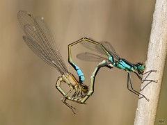 4017_4139 (niek haak) Tags: dragonfly dragonflies odonata libel ischnuraelegans lantaarntje mating paring copula