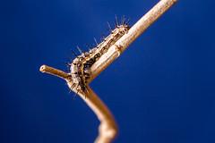 _MG_0099 (irukza) Tags: gusano insecto naturaleza oruga