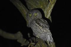 Eastern Screech Owl (Fledgling) (aj4095) Tags: eastern screech owl bird nature wildlife birding outdoor ontario canada spring