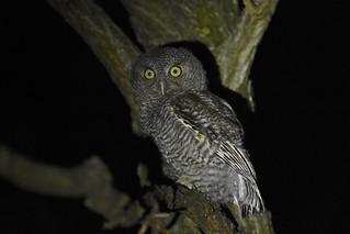 Eastern Screech Owl (Fledgling)