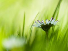 Madelief - Daisy (de_frakke) Tags: madelief daisy flower bloem wild wit white