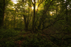 Sunny forrest (RigieNL) Tags: forrest tree trial sun sunny sunray sunrays sundown bos nederland limburg milsbeek bomen boom zon sony sonya6000 zonsondergang travel europe europa netherlands nature natuur
