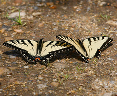 Eastern-Tiger-Swallowtail-20w (egdc211) Tags: canon connecticutwildlife naturewatcher nature newenglandwildlife newenglandwildlifephotography outdoors swallowtail e
