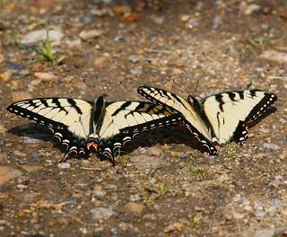 Eastern-Tiger-Swallowtail-20w