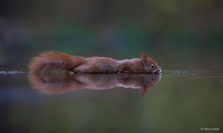 Eekhoorn - Red Squirrel - Sciurus vulgaris -5517