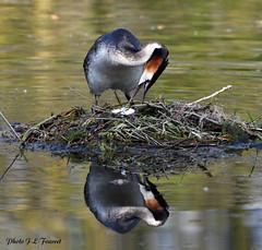 Grèbe huppé (Podiceps cristatus ) (jean-lucfoucret) Tags: grèbehuppé reflet œuf étang oiseau bird sigma150600 nikond500 aves