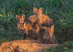 Fox Kits (nikunj.m.patel) Tags: redfox fox kits nature wildlife photography spring outdoor play nikon mammal