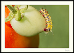 Larva - Caterpillar (J. Amorin) Tags: larva caterpillar mariposa polilla amorin macro canon10028macro canon7d macuspana mariposasdemexico mariposasdetabasco tomate oruga gusano