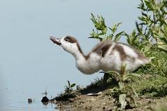 Pullo di Volpoca mentre beve ... (vilma.remondetto) Tags: pullo volpoca canon vilmaremondetto birdwatching anatidi duck