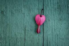 turquoise-and-pink (Funchye) Tags: 105mm d610 nikon blomst flower hjerte løjtnantshjerte heart dicentra