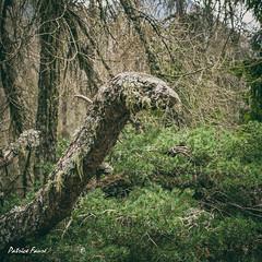 """Le Monstre du Mercantour"" (Patrice Fauré) Tags: lacolmiane mercantour monstre bois forêt alpes alpesdusud alpesmaritimes 06 sony sonya57 minoltadynaxaf28mmf28"