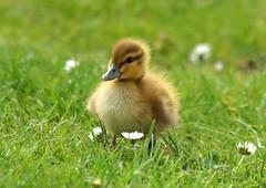 Daisy, Daisy, give me your answer, do! (SteveJM2009) Tags: daisy duckling mallard grass duck markings focus dof poole park dorset uk may 2017 stevemaskell cute fluffy naturethroughthelens