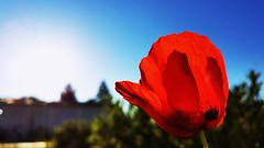 Poppies (srouve78) Tags: coquelicot poppies flowers fleurs