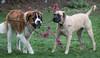 My Landscapers – Oakley & Millie (John Clay173) Tags: dog saintbernard millie oakley jclay englishmastiff
