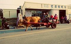 芳苑鄉的牛車 Fangyuan Township Oxcart (葉 正道 Ben(busy)) Tags: 芳苑 牛車 fangyuanˍtownship oxcart changhua taiwan 旅行 travel landscape 風景