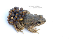 Alyte accoucheur (Matthieu Berroneau) Tags: sony alpha macro nature france herpéto ff 24x36 full frame a7ii 7ii 7mk2 sonyilce7m2 90 28 herping herpeto trip amphibia amphibian amphibien tailed amphibians field herp varliagyviai anoura anoure toad alyte accoucheur anura taillless anuro common midwife alytes obstetricans sapo partero común tailless pyrénées pyrenees txantxiku arrunta commonmidwifetoad alytesobstetricans alyteaccoucheur alytesobstetricansobstetricans sonya7ii sonya7mk2 sonyalpha7mark2 sonyalpha7ii white fondblanc blanc highkey whitebackground high key fond fe f28 g oss fe90f28macrogoss sonyfesonyfe2890macrogoss objectifsony90mmf28macrofe sel90m28g textbook fondo blanco fondoblanco