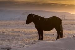 Islande, chevaux, 4 (Patrick.Raymond (4M views)) Tags: islande matin contrejour cheval neige froid gel hiver hdr nikon beautifulphoto