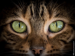 170311_Lexi_033.jpg (TimFalk73) Tags: macromondays eyes ausrüstung flickrgruppen florafauna flickrgroups kameragehäuse katze katzen lexi nikon nikond750 nikonnikkor2470mmf28 objektive tierart animalspecies camerabody cat cats equipment lenses