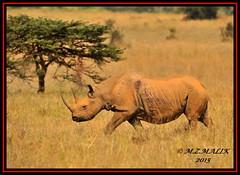 BLACK RHINOCEROS (Diceros bicornis)......NAIROBI NAT.PARK......SEPT,2015 (M Z Malik) Tags: nikon d3x 200400mm14afs kenya africa safari wildlife nairobinatpark exoticafricanwildlife flickrrhinowatch rhino ngc npc