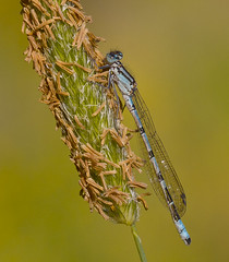 Common Blue Damselfly Enallagma cyathigerum (Ivan Lynas Nature Photography) Tags: