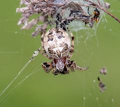 Schilfradspinne (Larinioides cornutus) , NGIDn709814309 (naturgucker.de) Tags: ngidn709814309 naturguckerde larinioidescornutus nierstein golfplatz cursulagoenner