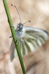 Cryptic (12842) (jonathanclark) Tags: spring belfast belfastharbourestate wild wildlife nature natural insect butterfly macro closeup cryptic wood white kinnegar