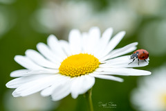 A walk through the Park (Inky-NL) Tags: intothewoods macromondays ingridsiemons©2017 macro flower insect ladybug bokeh hmm mm fujixt2 fuji60mmf24 park nature naturallight spring daisy dof bug beetle explore explore1652017 inexplore
