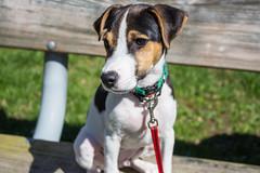 Dooley at the Park (marylea) Tags: hudsonmillsmetropark hudsonmills dooley 2017 dog parsonrussellterrier parsonrussell jackrussellterrier jackrussell terrier apr22