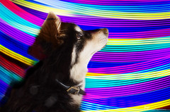 crazy colours 19/52 (sure2talk) Tags: crazycolours lightpainting nikond7000 nikkor1855mmf3556afs composite flash speedlight sb900 offcamera diffused softbox we1452017 52weeksfordogs 1952