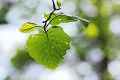 Envolons nous! / We fly away! (alainragache) Tags: lumière light vert green leaves foliage tree forest forêt nature saison season canon sigma 600d spring printemps frühling primavera