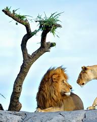 What? Right now? (John Kok) Tags: tanzania namiri april2017 lion nikkor20050056evr2 pantheraleo
